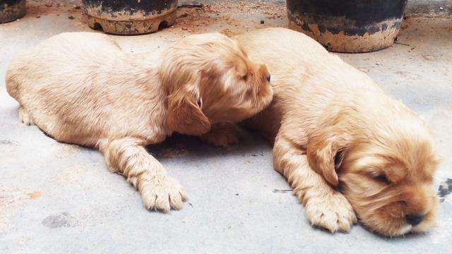 English Cocker Spaniel With Tail Golden Puppies For Sale Dogs For