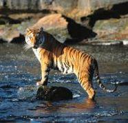 Used, Group Tours Kanha Tiger Safari,Jabalpur Car Trip,Car Rentals for sale  India